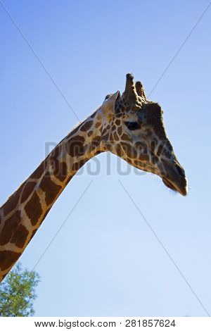 Giraffe Head With Saad Face On Sky Background