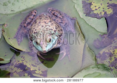 Frog on Lilypads