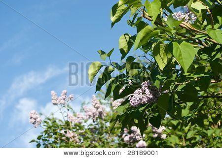 Flowering Lilac Bushes