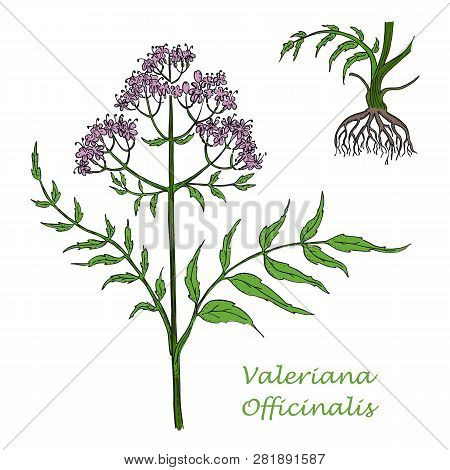 Painted Hand Drawn Branch Of Valerian With Roots
