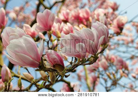 Branch Of Magnolia Tree In The Spring Garden On The Blue Sky Background. Macro Photography Of Nature