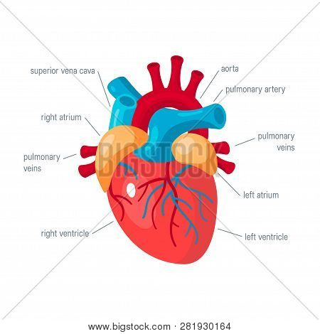 Human Heart Concept. Vector Illustration For Medical Atlas, Articles, Educational Textbook Etc. In F