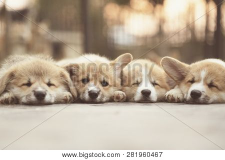 Closeup Of Four Lovely, Cute Corgi Dog Puppies Lying, Relaxing And Sleeping In Summer Sunny Day.