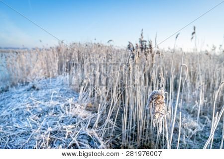 Reed Plants Covered With Hoarfrost Early In A Winter Morning. The Photo Was Taken In The Dutch Natio