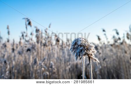 Closeup Of Frosted Seed Heads Of Common Reed Or Phragmites Australis Plants. The Photo Was Taken Ear