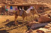 Two camels are waiting for tourists to bring them to the top of the Mount Sinai (Mount Horeb, Gabal Musa). Sinai Peninsula of Egypt. poster