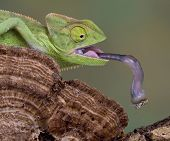 A baby veiled chameleon is picking up a fly with his tongue. poster