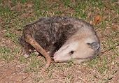 Possum playing dead at night poster