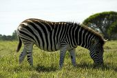 A zebra eating grass in a game park in Port Elizabeth South Africa poster