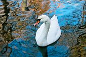 Adult white swan floats in the water poster