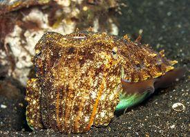 Cuttlefish Or Cuttles Are Marine Molluscs Of The Order Sepiida,class Cephalopoda