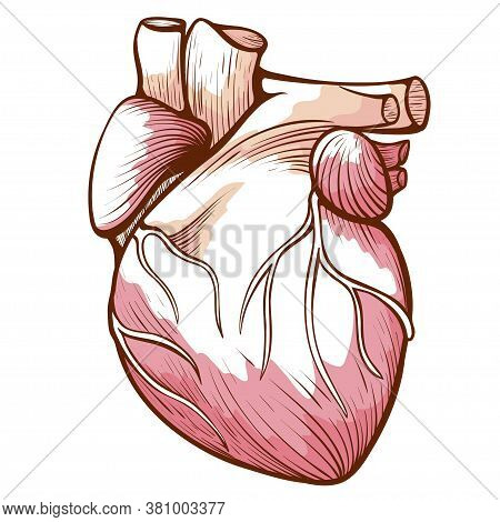Heart With Blood Vessels, Arteries, Veins Anatomical Sketch. Human Innards, Organ. Circulatory Syste
