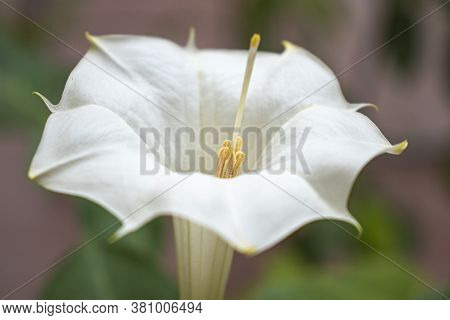 Anther Of White Datura Flower Thorn Apple .
