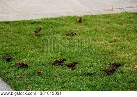 Group Of Sparrow Is Sitting On Green Grass