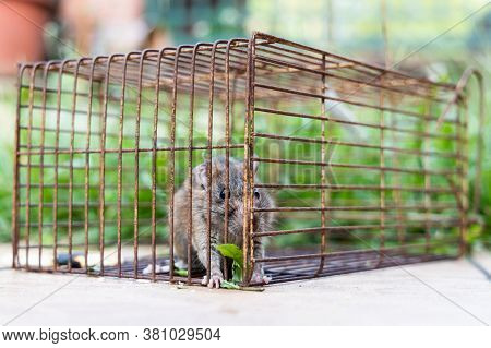 Closeup Of Rat Mouse Caught In Rat Trap Cage