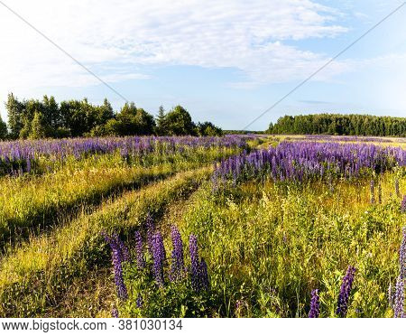 Lupinus Field With Pink Purple, Blue And Violet Flowers. Lupinus Meadow. Summer Flowers Background.