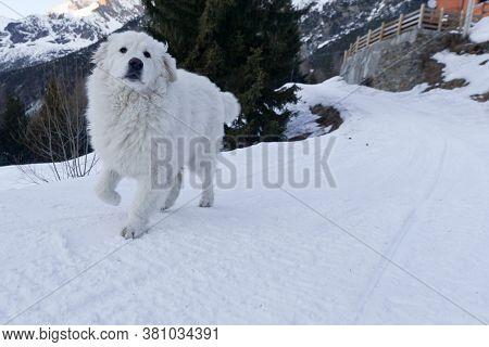 A Large Maremma Dog Runs On The Snow