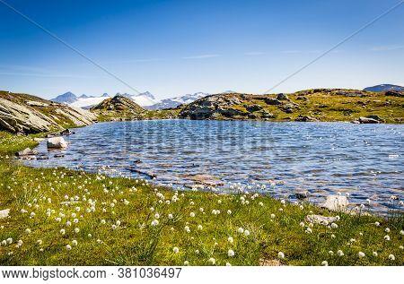 Arctic Cotton Along National Scenic Route Sognefjellet Between Skjolden And Lorn In Sogn Og Fjordane