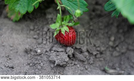 Strawberry Bush Where Red Berry Lies On Ground. Growing Strawberries In Garden, Strawberry Bush With