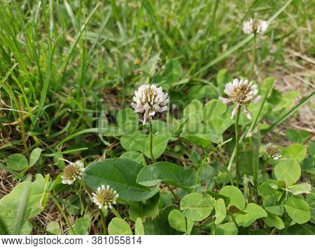 A White Clover Flowers In The Springtime