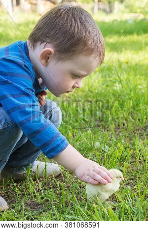 A Little Boy Observes The Chicken With Interest, Touches It With His Hand, Strokes It. Summer. Sunny