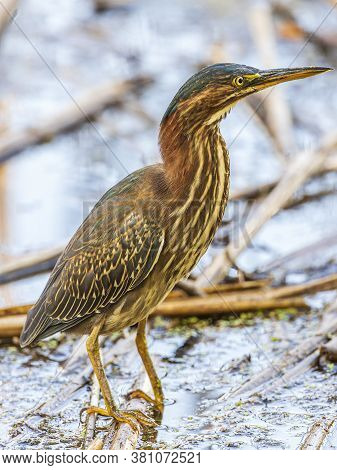 A Beautiful Juvenile Green Heron Hunting For Lunch.