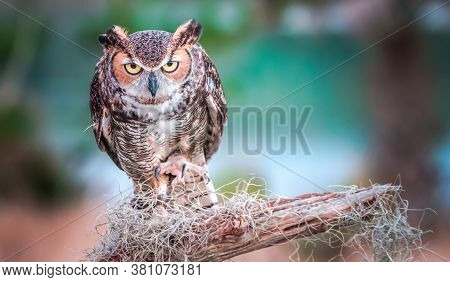 A Great Horned Owl On A Branch, Portrait Of An American Eagle Owl, Cute Owls