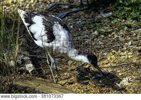 Pied Avocet (recurvirostra Avosetta) - Large Black And White Wader