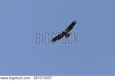Young bald eagle in flight.The bald eagle is a bird of prey found in North America.