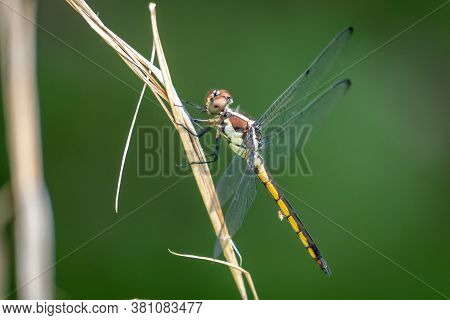 A Female Slate Skimmer Perches On A Twig. Apex, North Carolina.