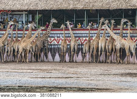 Bangkok, Thailand - Aug 09, 2020 : Group Of Giraffe Getting Food From Tourists At Safari World Zoo O
