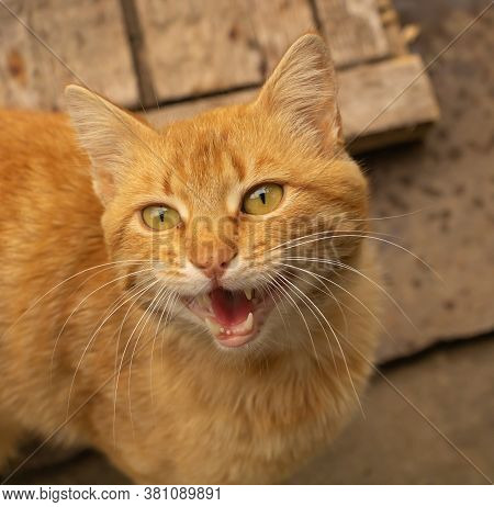 A Funny Meowing Cat. Brown Cat Very Beautiful