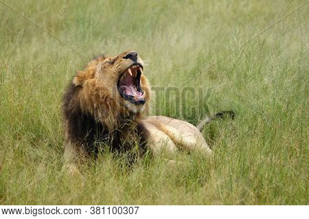 The Southwest African Lion Or Katanga Lion (panthera Leo Bleyenberghi) Yawn In Thick Green Grass