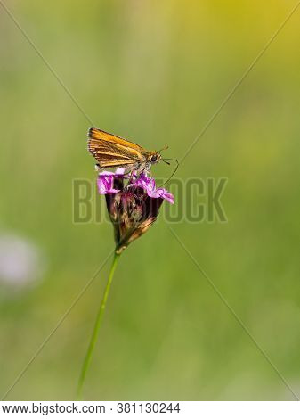 Small Skipper (thymelicus Sylvestris) Butterfly Male Feeding On Pink Blooming Dianthus Flower