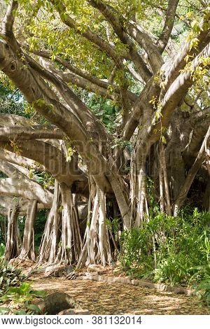 Giant Ficus Virens Or White Fig Tree In Flower With Numerous Aerial Roots, Fruit Is Edible, In Queen
