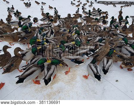Many Ducks Eat In The Snow, Remaining For The Winter In The City