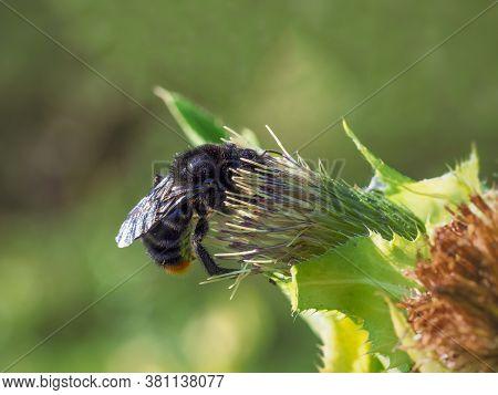 Large Black Bumblebee Bombus Lapidarius (linnaeus) On A Flower.