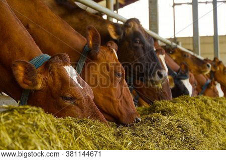 Orange Cows On Farm. Red Cows Eating Hay In The Stable At Cowshed. Dairy Cows On Dairy Farm, Agricul