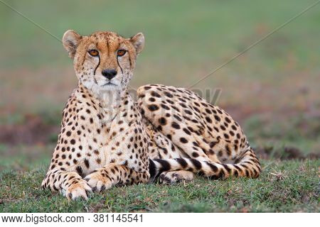 Cheetah On The Plains Of The Masai Mara National Reserve In Kenya