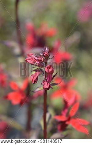 Cardinal Flower - Latin Name - Lobelia Cardinalis