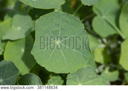 Garden Nasturtium Leaves - Latin Name - Tropaeolum Majus