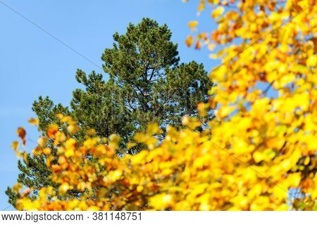 View Of Autumnal Treetop, Green And Yellow Colored Tree