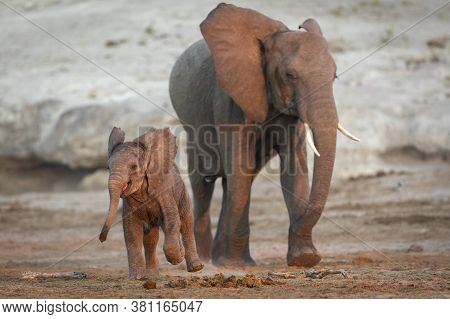 Cute And Tiny Baby Elephant Jumping Of Joy Playing While Walking With His Mother Late Afternoon Duri