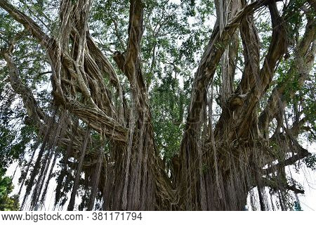 Roots Of An Old Banyan Tree That Lives On The Banks Of Rivers With Roots That Spread To The Ground A