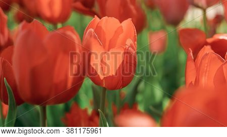 Spring Tulip Blooms In The Garden, Romantic And Dreamy Mood, Lush Lava And Aqua Menthe Colors, The C