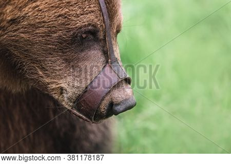 Portrait Of A Teddy Bear In Captivity, Its Muzzle In A Brown Muzzle.