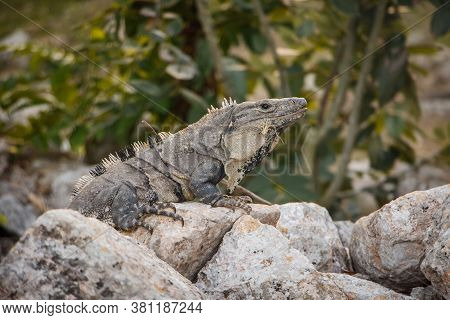 Old Zoological Species Of Iguana In Mexican Yucatan Peninsula