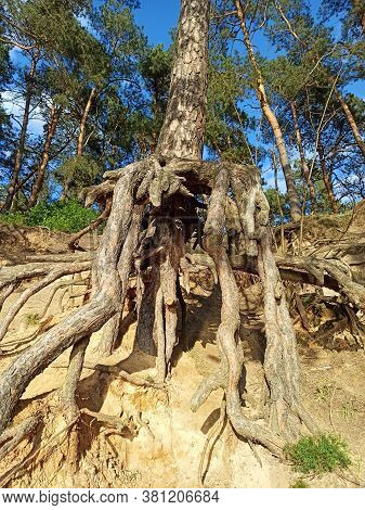 Pine Tree With Huge Roots In The Forest. Pine Root Growing Above The Ground. Tree Of Pine With Big R