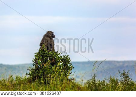 Baboon, or yellow baboon, in the grassy savannah. Kenya. Safari - tour to the Masai Mara. Wild animals in natural habitat. The concept of active, ecological, exotic, extreme and photo tourism