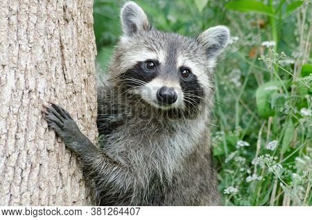 A Common Raccoon (procyon Lotor) Climbing A Tree, Green Vegetation In Background